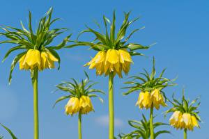 Обои Боке Желтый Fritillaria imperialis, crown imperial Цветы