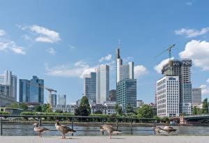Картинки Германия Небоскребы Франкфурт-на-Майне Птицы Гусь Реки