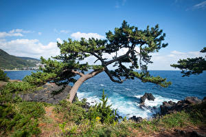 Фото Япония Побережье Дерево Скале Ito, Jogasaki Coast Природа