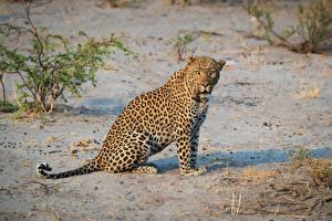 Картинки Леопарды Сидит Взгляд животное