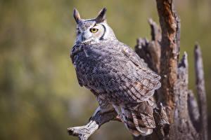 Фото Совообразные Птица Размытый фон great horned owl