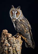 Обои для рабочего стола Сова Птицы На черном фоне long-eared owl животное