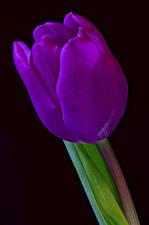 Фотографии Тюльпаны Крупным планом Черный фон Фиолетовый