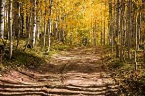 Обои США Леса Дороги Осенние Дерево Березы Aspen, Colorado