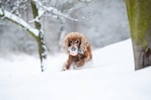 Обои для рабочего стола Зимние Собака Снег Бежит Спаниель Размытый фон Животные