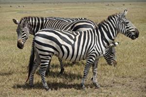 Обои Зебра Трава Сбоку Полоски Животные