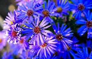 Обои для рабочего стола Астры Много Крупным планом Синий Цветы