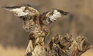 Обои Птицы Ястреб Крылья