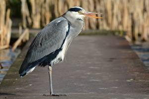 Картинки Птицы Цапля Сбоку Размытый фон Grey Heron