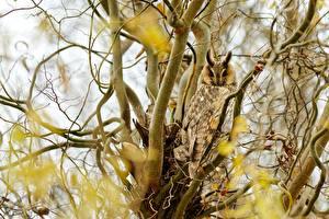 Картинка Птица Совы Боке На ветке Big-eared Owl Животные
