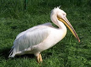 Фотографии Птицы Пеликаны Сбоку Белые Трава Клюв животное