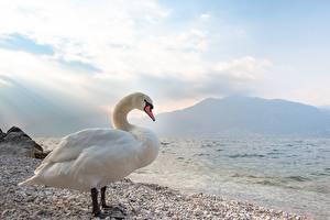 Картинки Птица Лебедь Камень Белая Сбоку