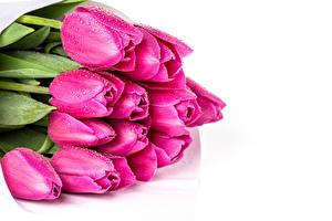 Картинка Букеты Тюльпаны Белым фоном Розовых Капли цветок