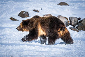 Обои для рабочего стола Медведи Гризли Снег Животные