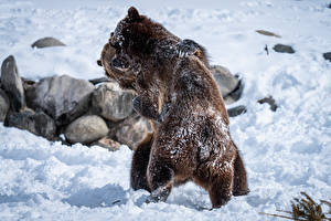 Фотография Медведь Бурые Медведи Двое Снега Дерутся животное