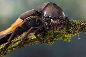 Фотографии Жуки Насекомое Крупным планом devil's coach horse beetle животное