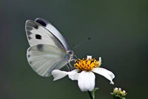 Обои Бабочка Насекомые Боке Pieris canidia