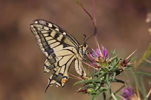 Картинка Бабочки Насекомые Размытый фон papilio machaon
