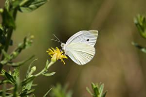 Фото Бабочка Насекомые Боке pieris brassicae животное