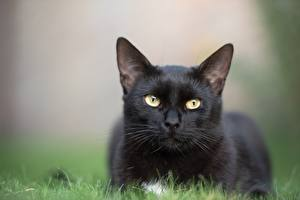 Фотография Кошки Боке Лежачие Взгляд Черный Траве Животные