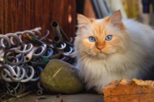 Фотография Кошка Взгляд Животные