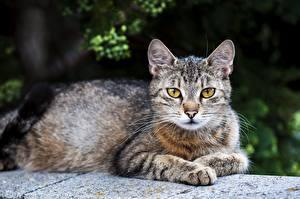 Картинки Коты Лежат Лап Боке