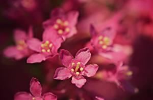Фото Крупным планом Размытый фон Розовый Embelia ribes цветок