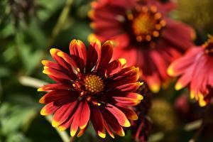 Картинки Крупным планом Размытый фон Красный Gaillardia Цветы