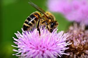 Фото Вблизи Макросъёмка Насекомое Пчелы Боке