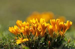 Фотографии Вблизи Весенние Крокусы Размытый фон Желтых Цветы