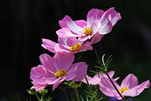Картинка Космея Розовых Размытый фон цветок