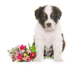 Обои Собака Букет Аусси Щенки животное