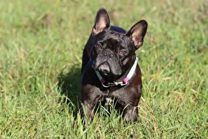 Фотографии Собака Французский бульдог Трава Черная Смотрит Животные