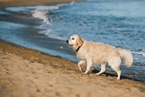 Фото Собаки Золотистый ретривер Пляжи Мокрые Боке Песка животное