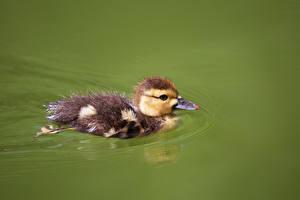 Фотография Утки Птицы Птенцы Плывет Животные
