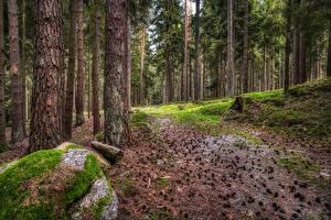 Картинки Германия Лес Дерево Шишки Мха Hinterberg Природа