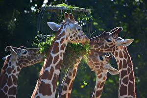 Фото Жираф Голова Ест Животные