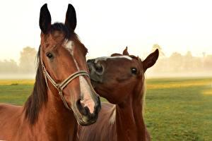 Фотография Лошади Головы Смотрят Два Животные