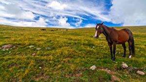 Фотография Лошади Небо Луга Облака Траве животное