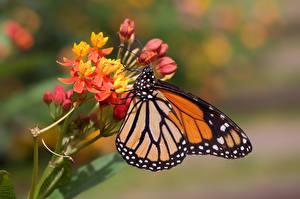Фотография Данаида монарх Бабочка Насекомое Размытый фон