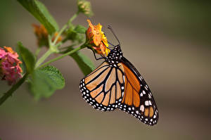 Обои Данаида монарх Бабочки Насекомое Вблизи Животные