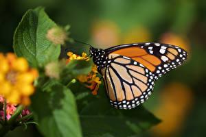 Обои Данаида монарх Бабочки Насекомое Крупным планом