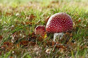 Обои Грибы природа Мухомор Траве Листва Две Красные Продукты питания