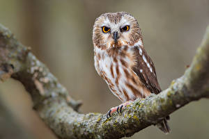 Фотография Сова Птицы Ветвь northern saw-whet owl Животные