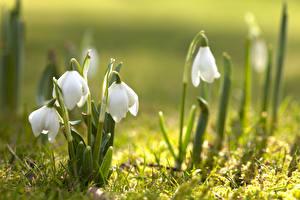 Фотографии Весна Крупным планом Подснежники Боке Белый цветок