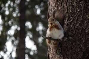 Фотографии Белка Размытый фон Взгляд Ветка Ствол дерева животное