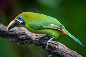 Картинки Туканы Птицы Ветвь emerald toucanet Животные