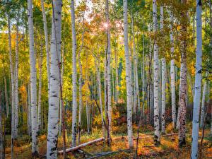 Фотографии Штаты Лес Осень Деревья Березы Colorado, aspens Природа