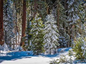 Обои Америка Парк Лес Калифорния Дерево Снегу Kings Canyon National Park