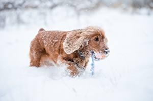 Фото Зима Собаки Снеге Спаниеля Животные